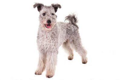 Miniature American Shepherd Dog Breed Information Pumi