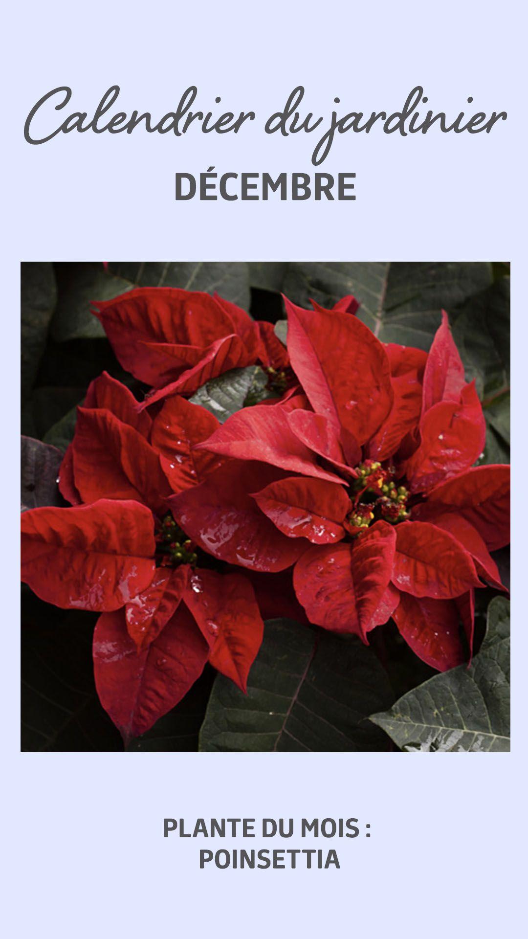 Etoile De Noel Plante Exterieur en français, on les appelle communément « Étoiles de noël