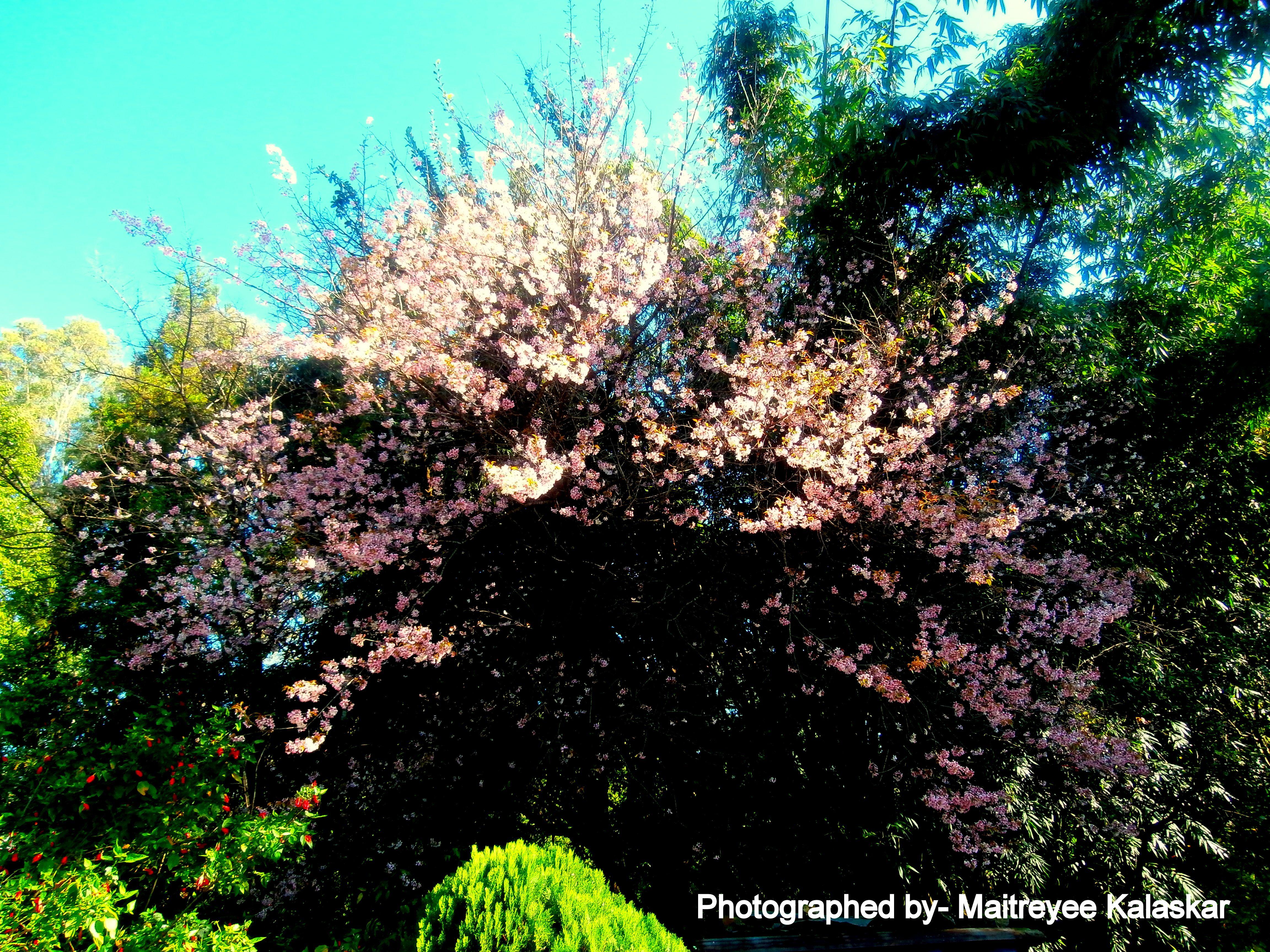 Cherry Blossom Tree Sakura Tree Shillong India Cherry Blossom Tree Sakura Tree Blossom Trees
