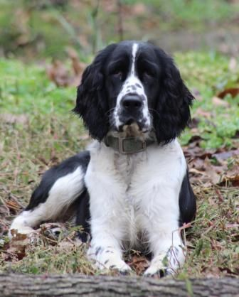 Upcoming Breedings Spirithillspringers Com Springer Dog Springer Spaniel English Springer Spaniel