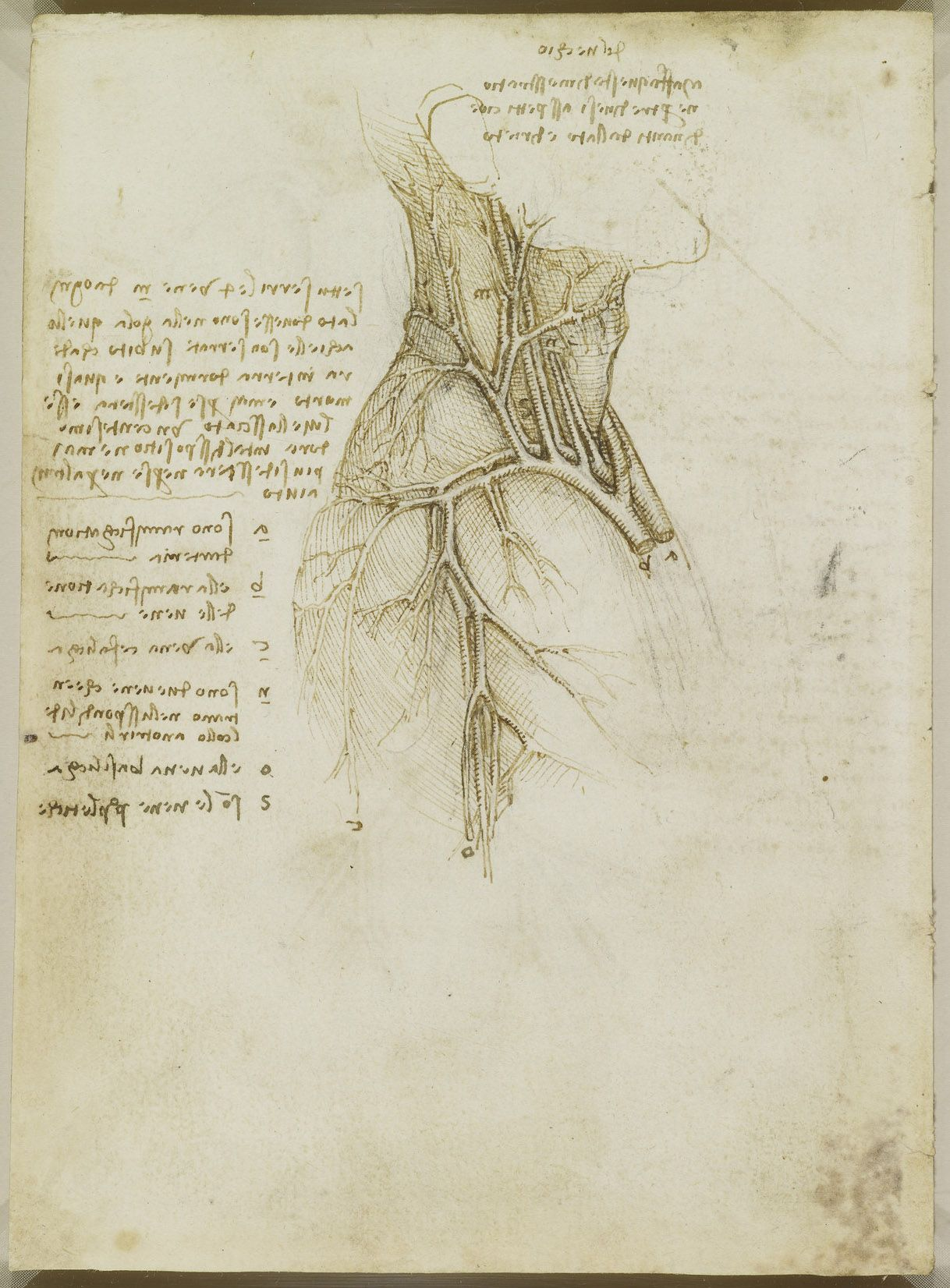 The vessels of the neck Leonardo da Vinci (Vinci 1452-Amboise 1519 ...