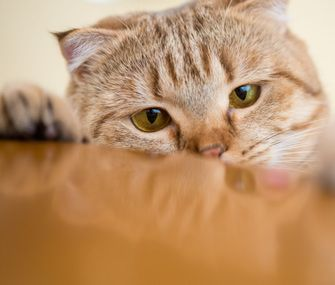 Why Does My Cat... Steal Things? Could your cat be stealing your stuff? Our veterinary behaviorist shares reasons your feline might be acting like a cat burglar and offers tips on what you can do.
