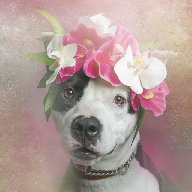 Dreamy Portraits of Flower Wreath-Wearing Pit Bulls Challenge the - construction change order form