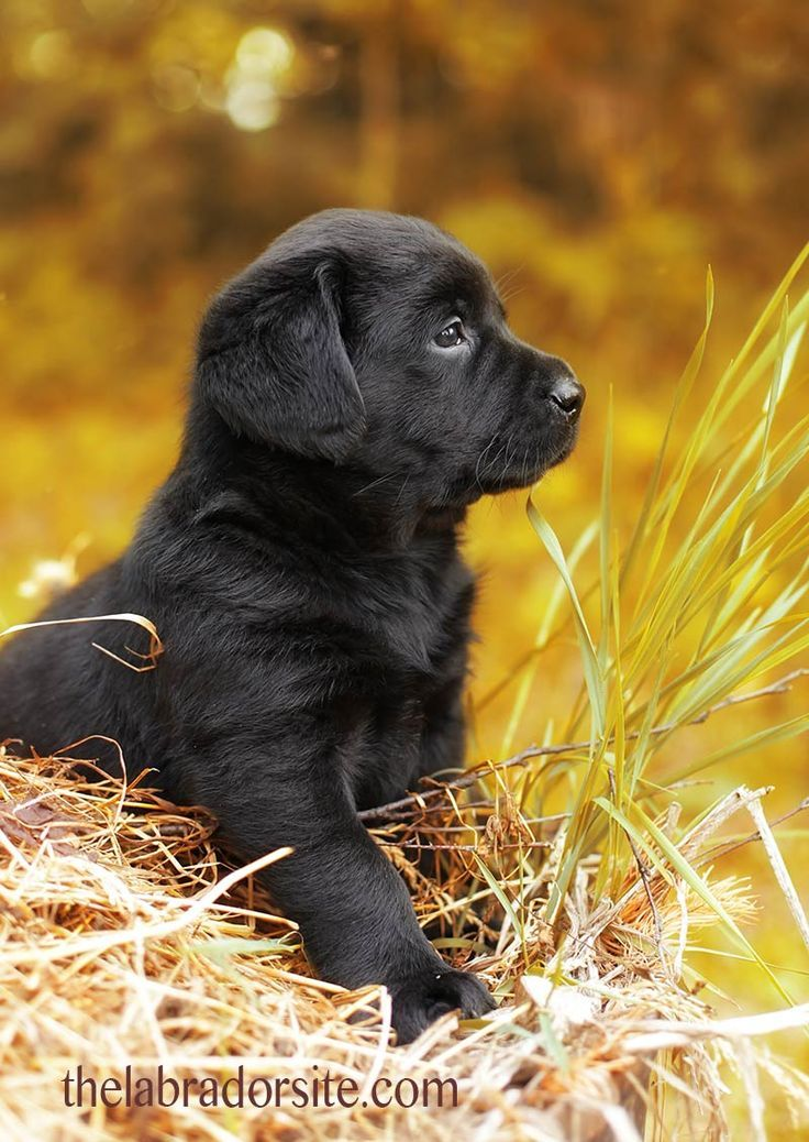 6 Week Old Puppy Adopting And Care Your Questions Answered Lab Puppies Puppies Black Lab Puppies