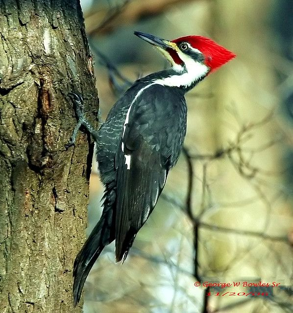 Woodpeckers Of Wv Male Pileated Woodpecker By George W