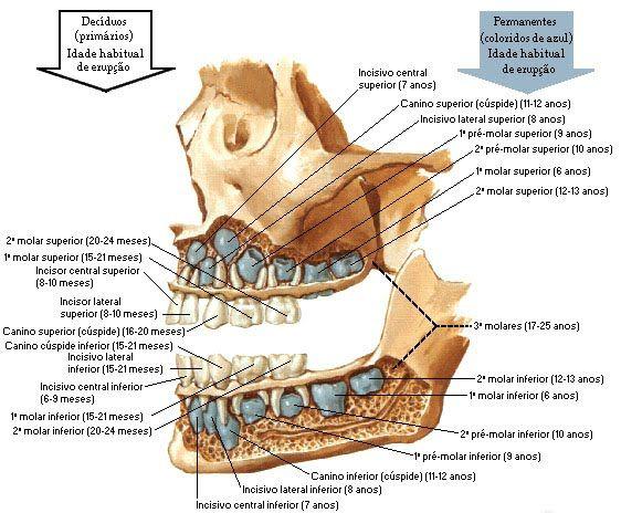 1 - Boca e Cavidade Bucal - Sistema Digestório | ANATOMIA ...