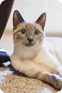 Staten Island Ny Siamese Meet Ipkiss A Cat For Adoption Http