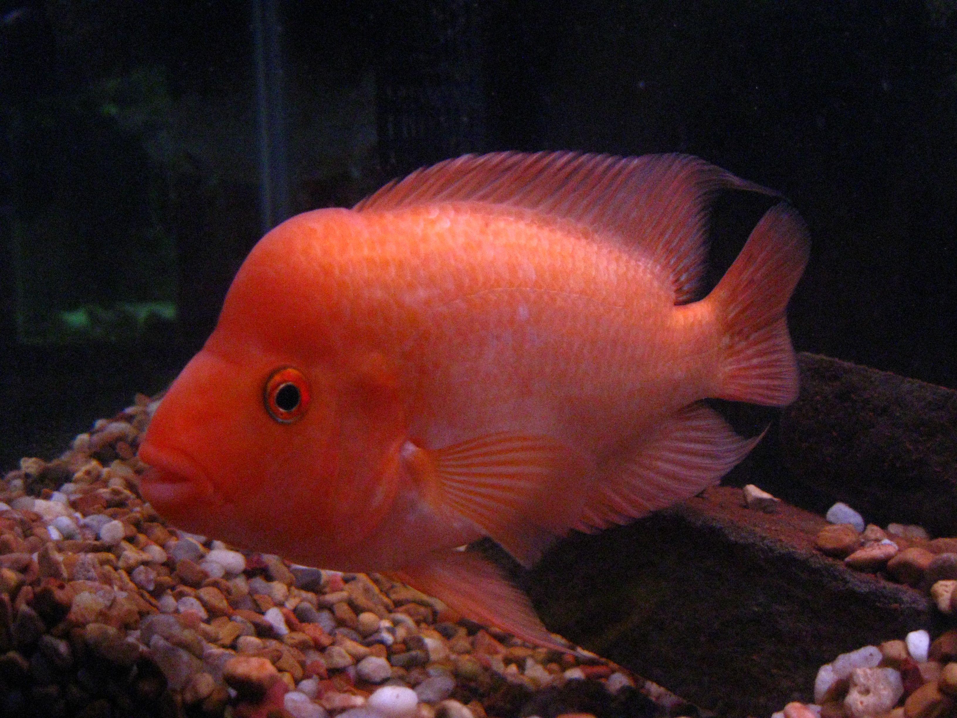 Red Devil Cichlid | Red Devil | Fish C | Pinterest | Freshwater ...