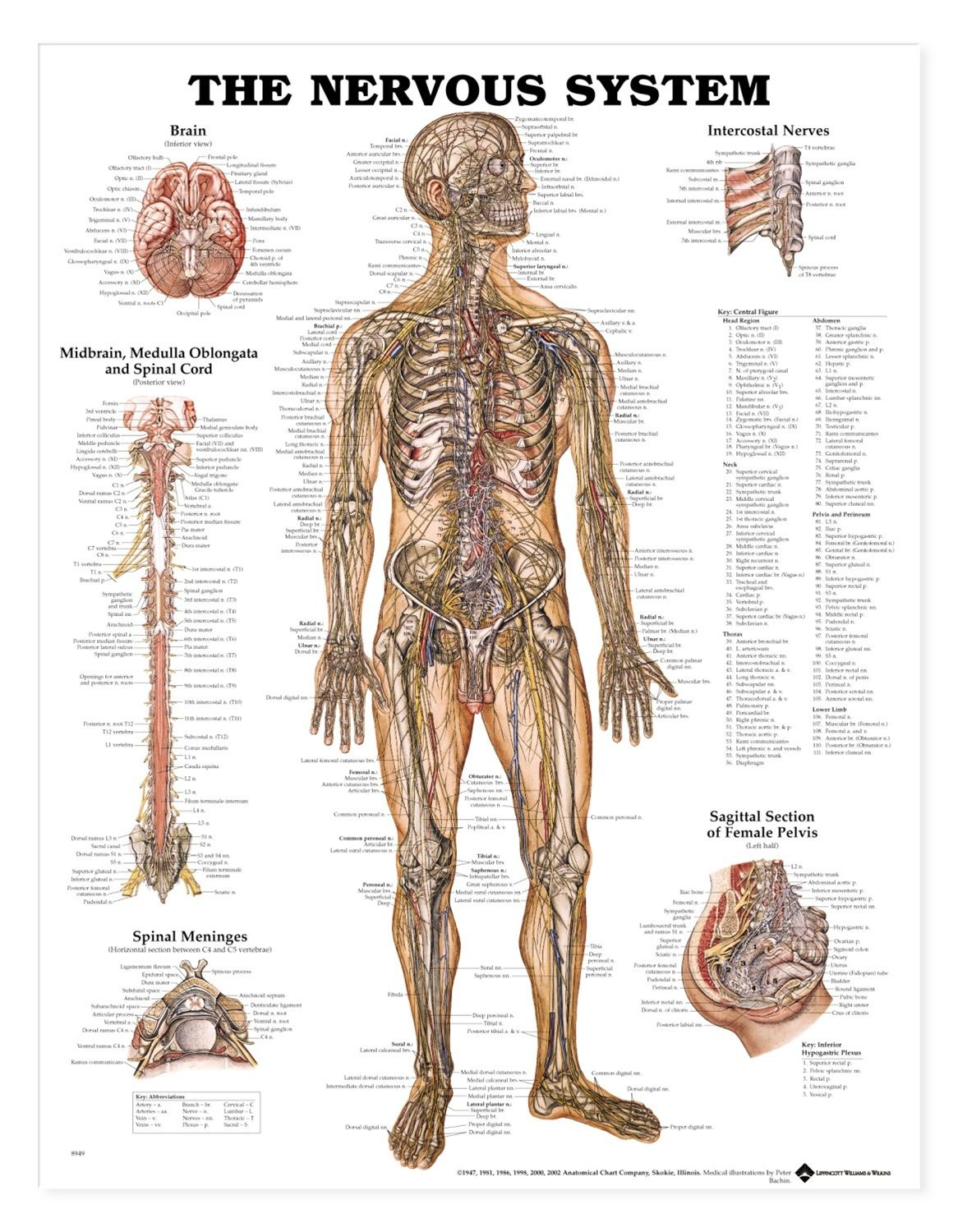medical chart female spine charts and female nervous system charts ...