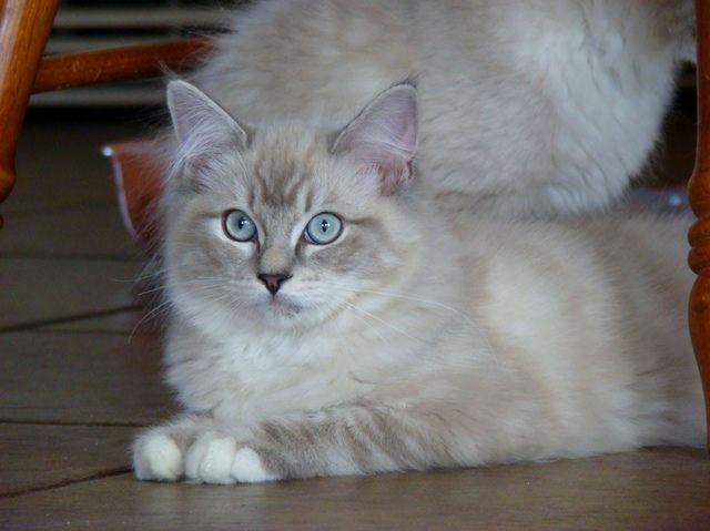 Sasha Blue Mitted Lynx Ragdoll Cat Ragdoll Kitten Ragdoll Cat Beautiful Cats