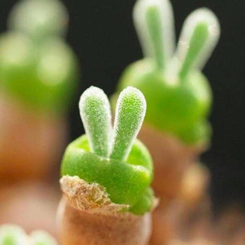 Bunny plant succulent seeds planting succulents succulents