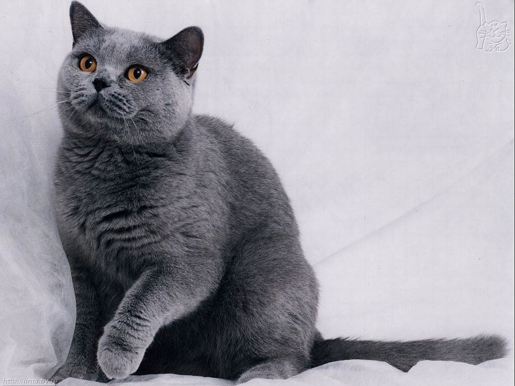 17 best gray blue russian cats images on Pinterest