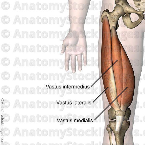 knee-musculus-quadriceps-femoris-vastus-lateralis-medialis ...