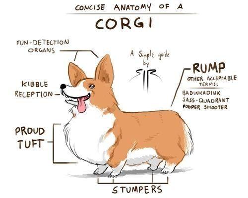 Anatomy of a corgi :)