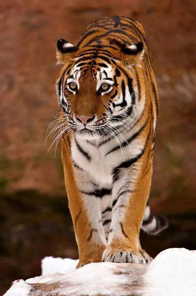 Tigre belo
