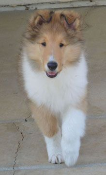 Ch Chelsea Blonde Bombshell Collie Puppies Rough Collie Puppies