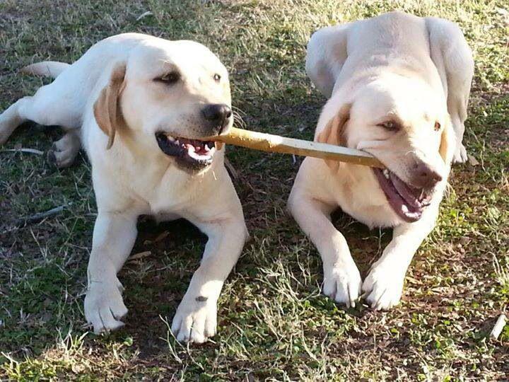 Two Yellow Labs Labrador Retriever Labrador Retriever