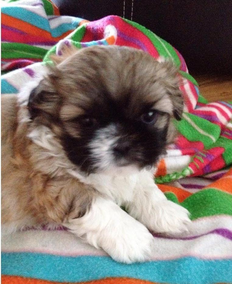 Shih Tzu Puppies For Sale In Iowa Shih Tzu Puppy Shih Tzu Cute