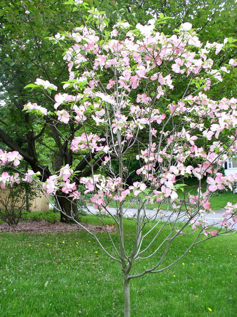 Pink Flowering Dogwood Cornus Florida F Rubra Serrano Small