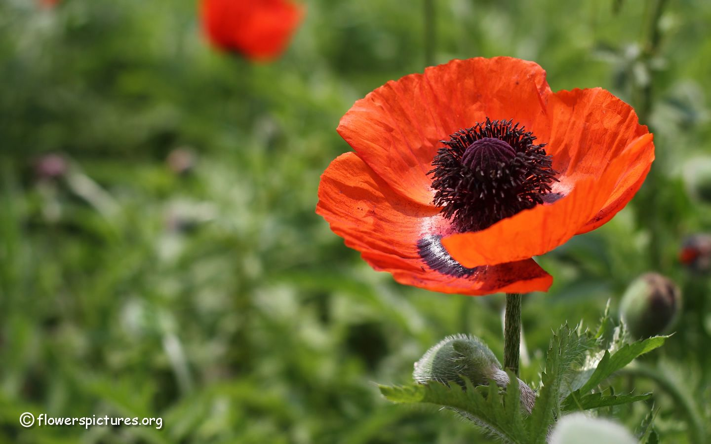Poppy Seed Is An Oilseed Obtained From The Opium Poppy Papaver