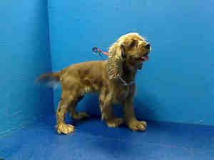 Tiny Is An Adoptable Cocker Spaniel Dog In Brooklyn Ny Cocker Spaniel Dog Spaniel Dog Dogs