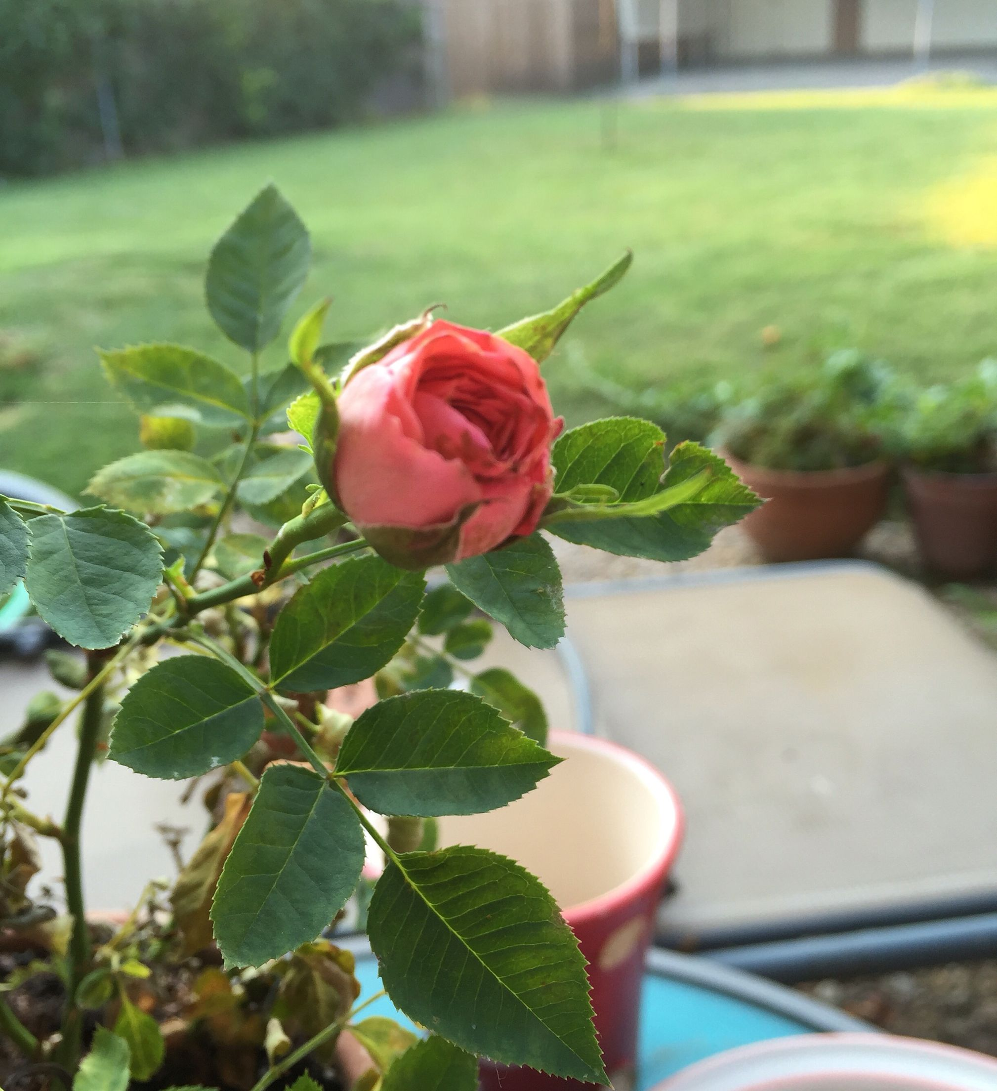 Parade Rose In Bloom With Images Plants Garden