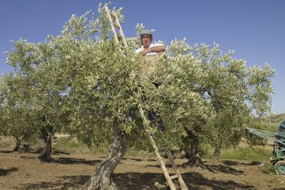 Olivenbäume muss man überwintern, um sie vor Frost zu schützen.