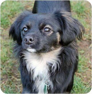 Cecil Adopted Dog Lynnwood Wa Tibetan Spaniel Papillon Mix