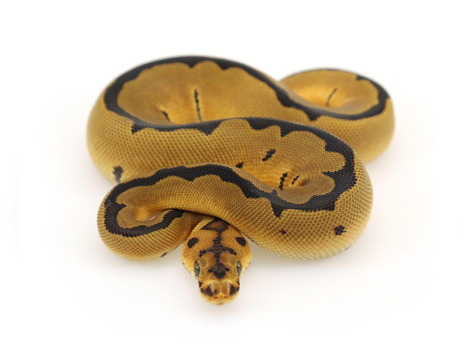 Ball Python Super Blade Orange Dream Clown Snakes Ball Python