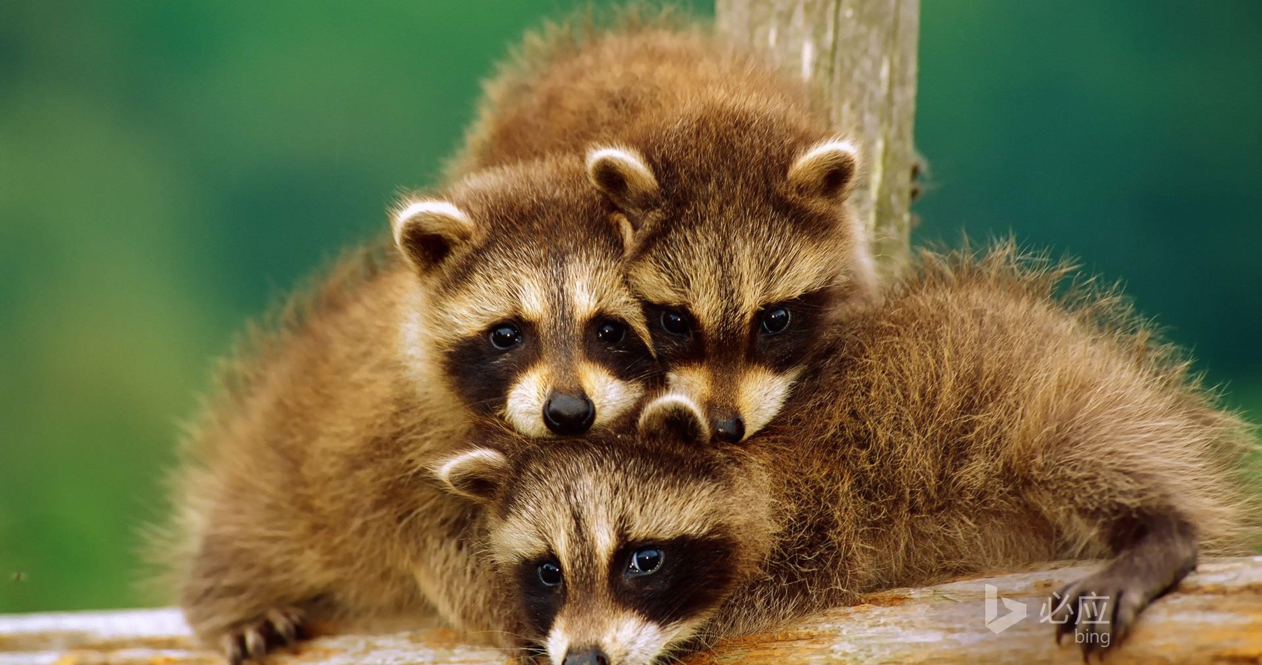 raccoons on tree 4k ultra hd wallpaper | ololoshenka | Pinterest ...