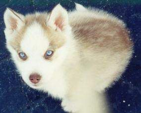 Light Red Husky Puppy Google Search Red Husky Puppies Red