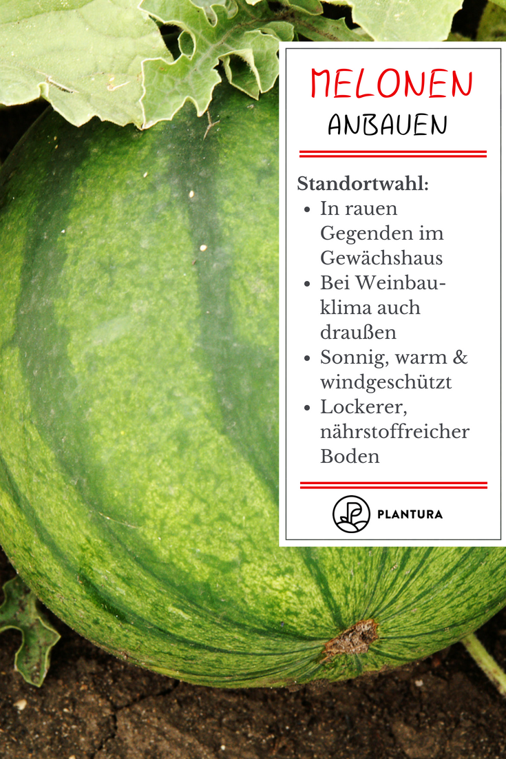 Melonen pflanzen: Zuckermelone, Honigmelone & Co.