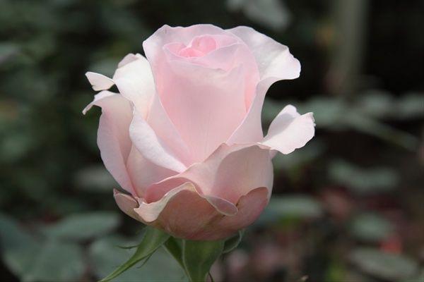 rosa sweet akito