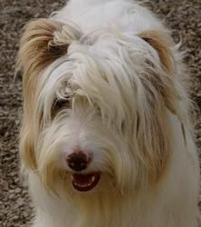 Bart Is An Adoptable Bearded Collie Dog In Salt Lake City Ut