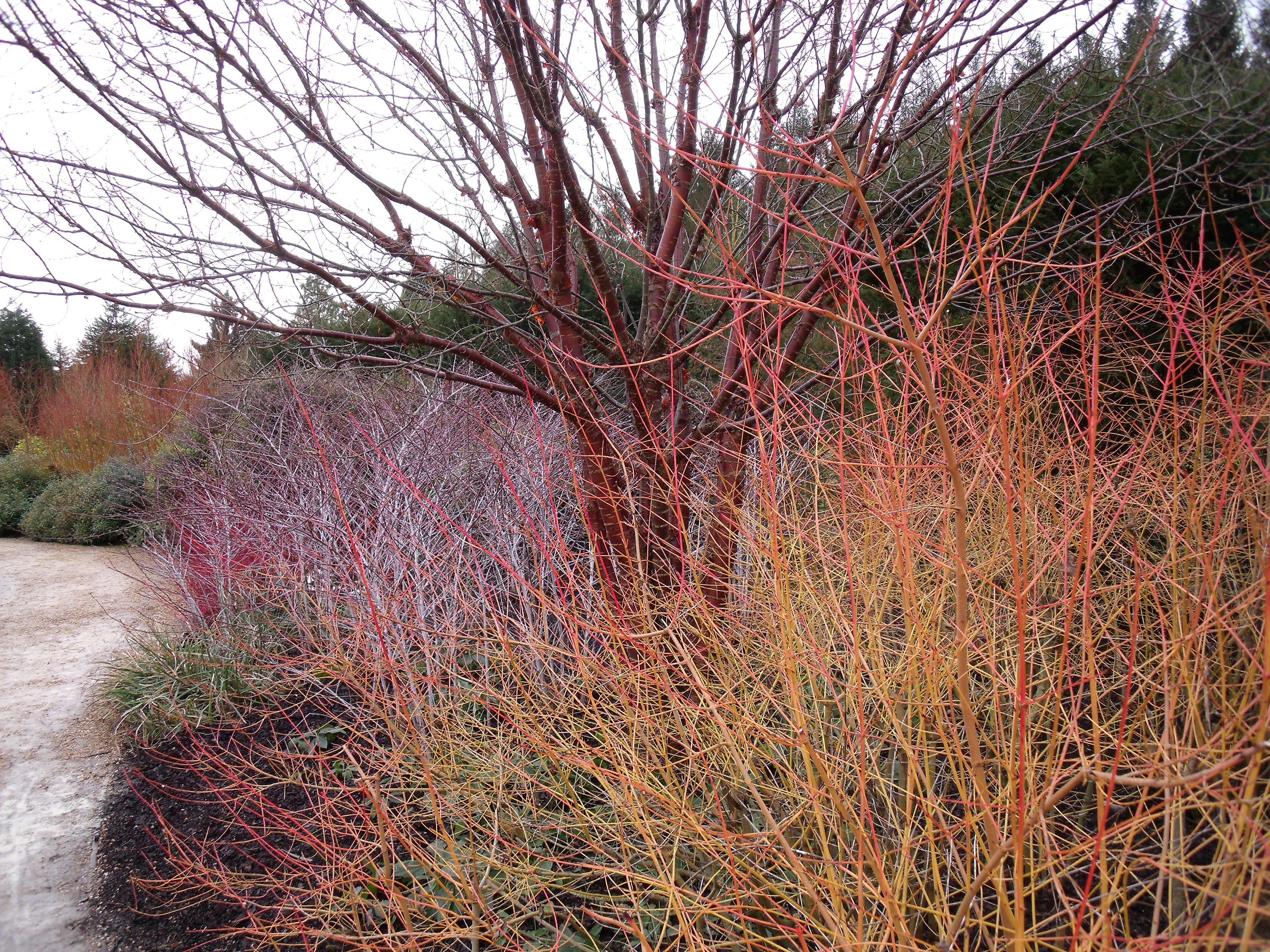 winter colour from stems cornus rubus u0026 prunus serrula all