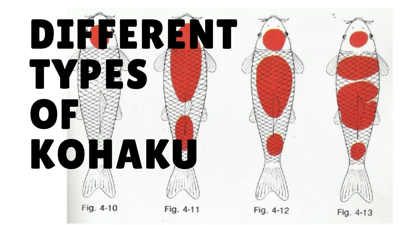 Different Types Of Kohaku koi fish | koi fish | Pinterest | Koi and Fish