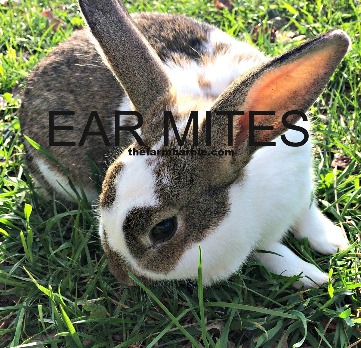 Help My Rabbit Has Crusty Ears Rabbit Pet Rabbit Your Dog