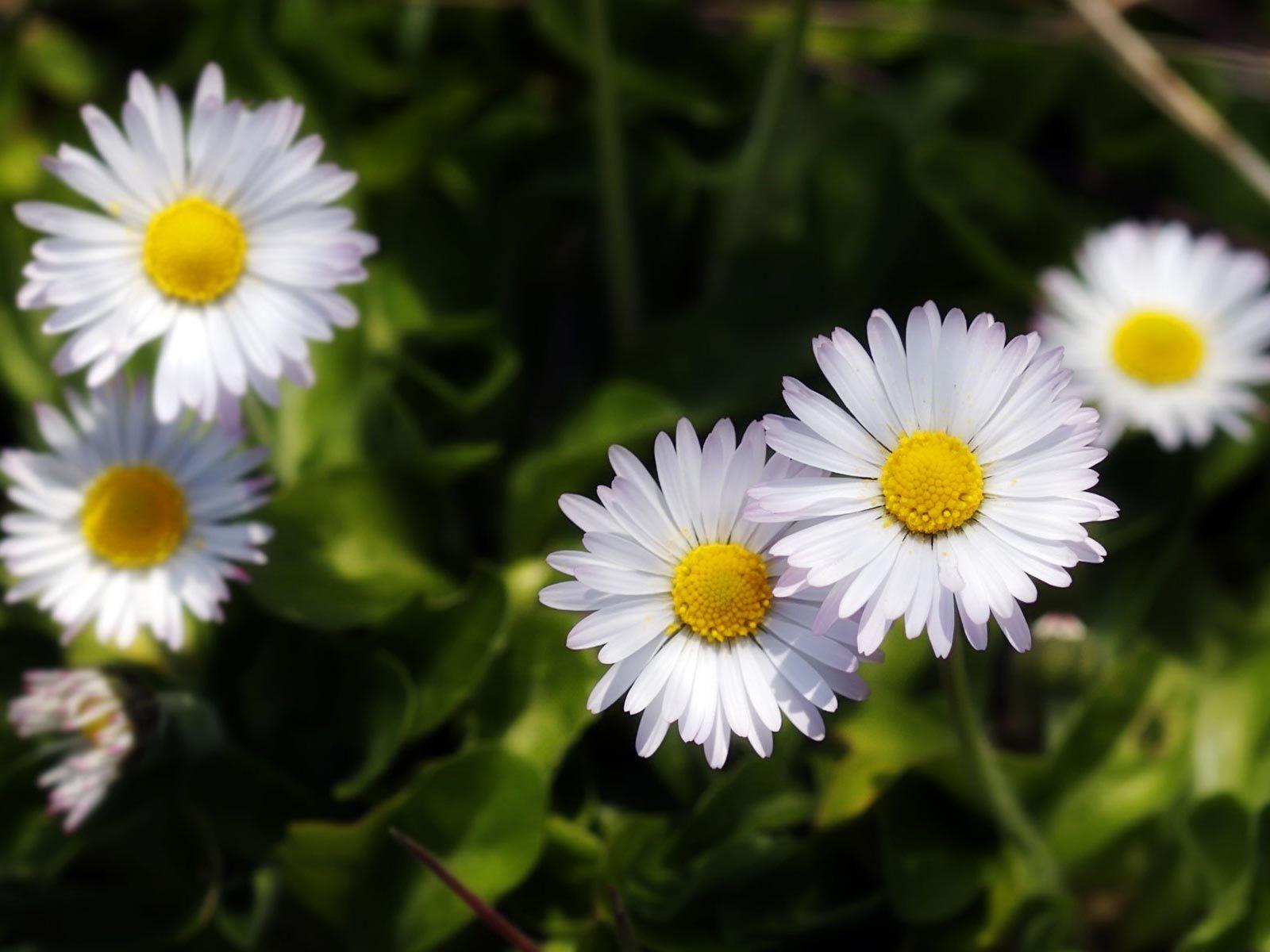 Background Meadow Daisy Flower Desktops Daisies Images Garden