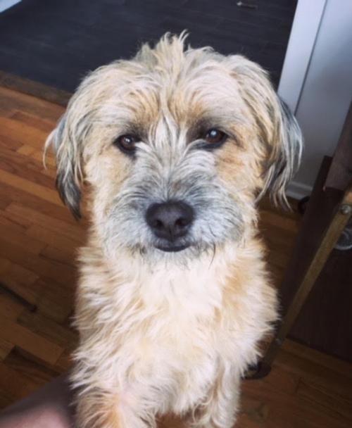 Jerry Is An Adoptable Dog Border Terrier Wheaten Terrier Mix