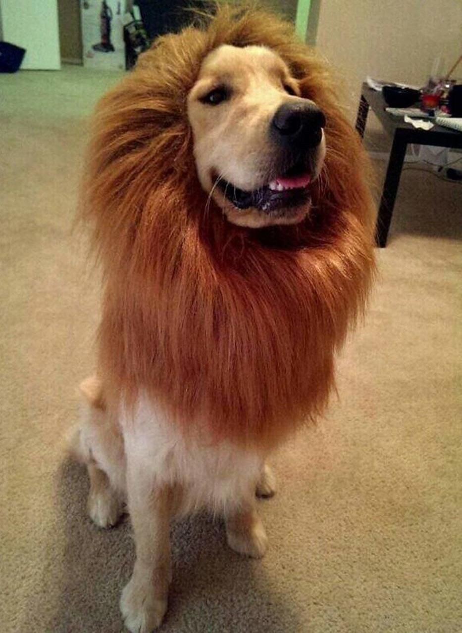 golden retriever halloween lion mane wig fancy dress up clothes