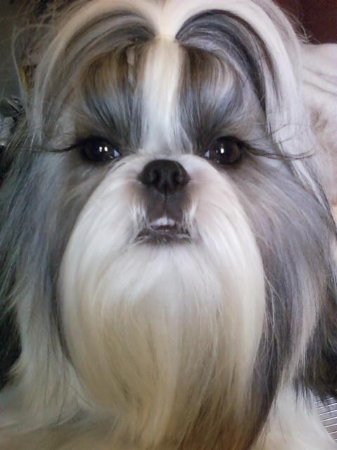 My girl HaiLi #shihtzu | Shih Tzu ♥ Of Mine (my pups ...
