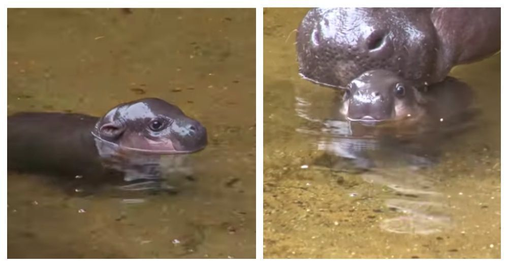 This Adorable Baby Hippo Takes His First Swim. When He Wiggled His Ears, I Couldn't Take It! #babyhippo Watch An Adorable Baby Hippo Takes His First Swim With Mama #babyhippo This Adorable Baby Hippo Takes His First Swim. When He Wiggled His Ears, I Couldn't Take It! #babyhippo Watch An Adorable Baby Hippo Takes His First Swim With Mama #babyhippo This Adorable Baby Hippo Takes His First Swim. When He Wiggled His Ears, I Couldn't Take It! #babyhippo Watch An Adorable Baby Hippo Takes His F #babyhippo