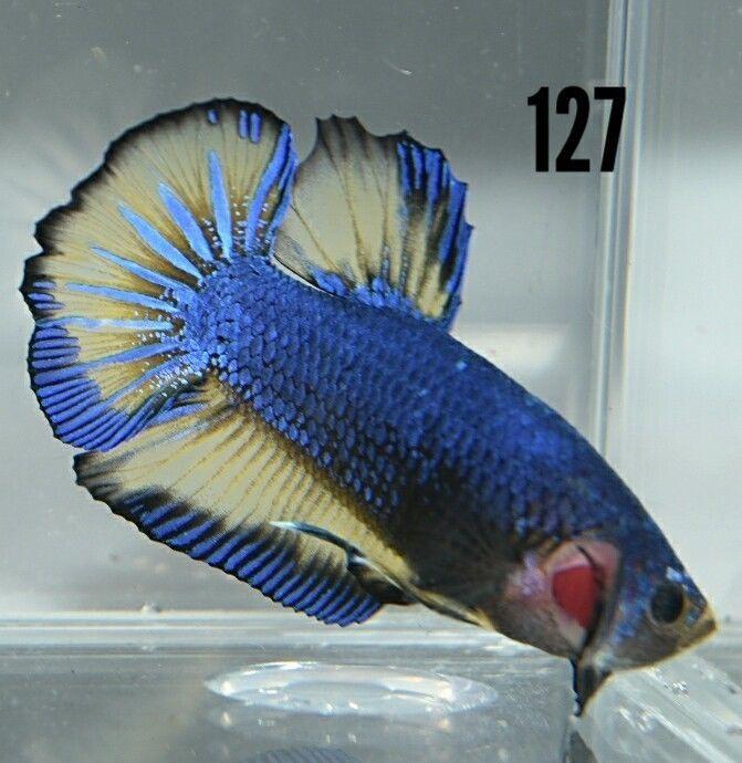 Blue and Yellow Mustard Gas Live Betta Male HMPK Fish