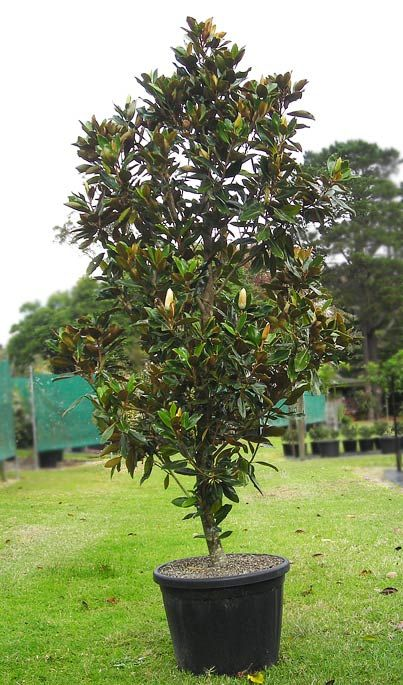 Magnolia Grandiflora Grown In A Pot This Is An Evergreen Tree Which