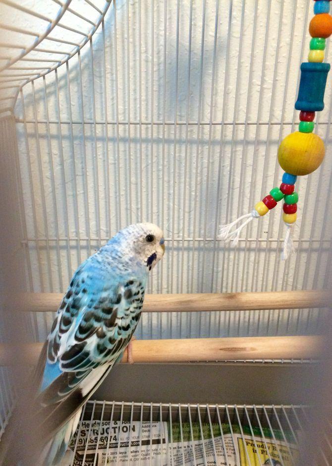 Take Care Of A Parakeet Parakeet Bird Pictures Cute Birds