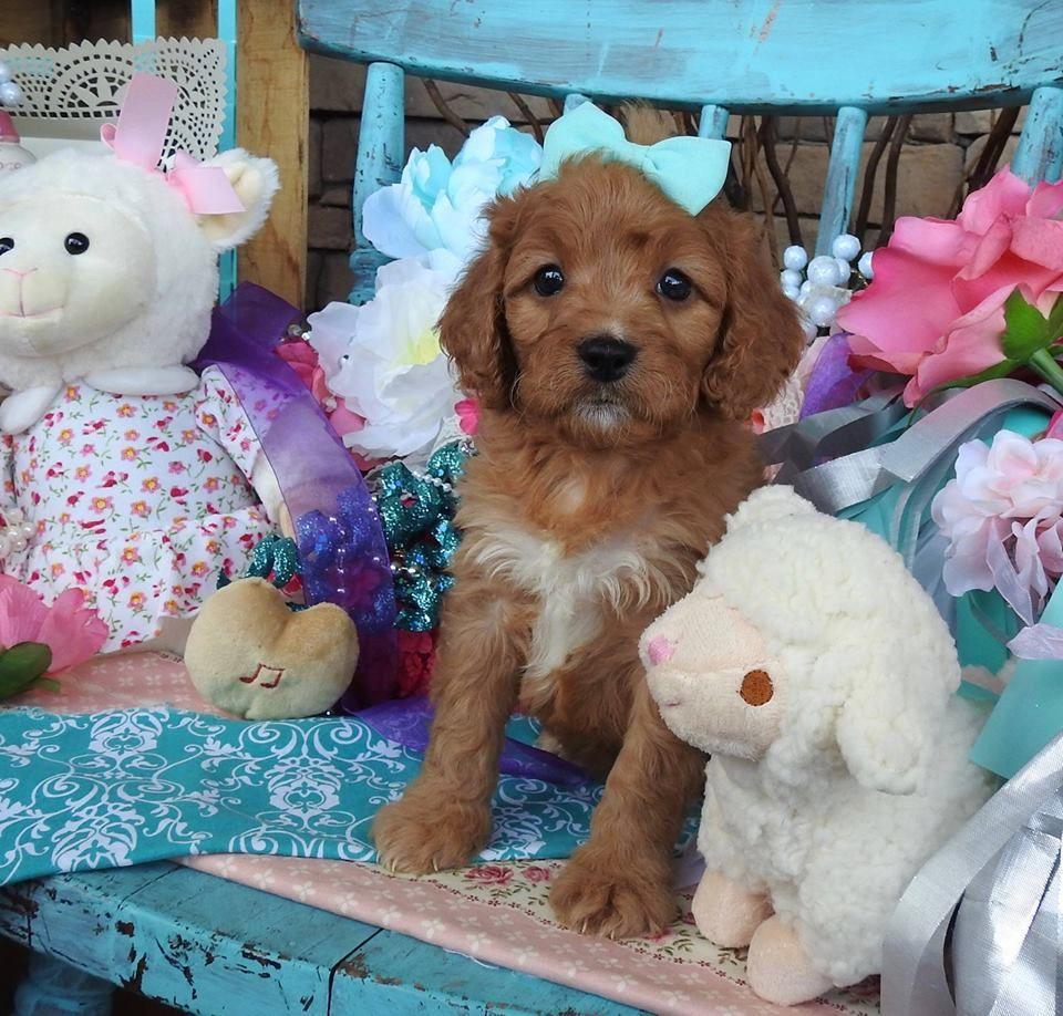 Www Cavapoosrus Com Cavapoo Puppies For Sale Cavapoo Cavapoo Puppies Cavapoo Puppies For Sale