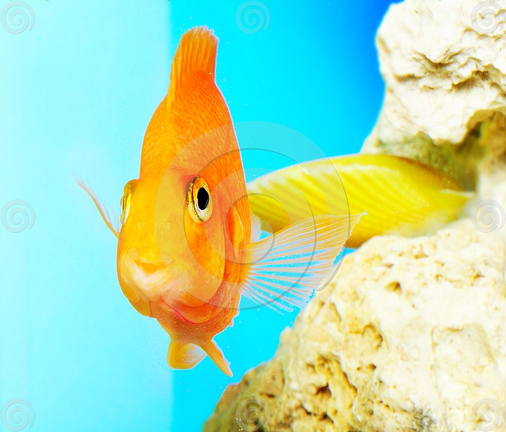 Fish aquarium olx delhi - Parrot Fish Orange Fish In Fresh Water Aquarium Image By Oksanka At Dreamstime