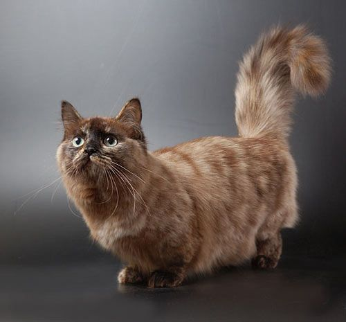 Cats Have Short Legs That Are A Result Of Natural Occurring Gene Mutation They Come In Three Diffe Sizes Standard Super And Rug Hugger
