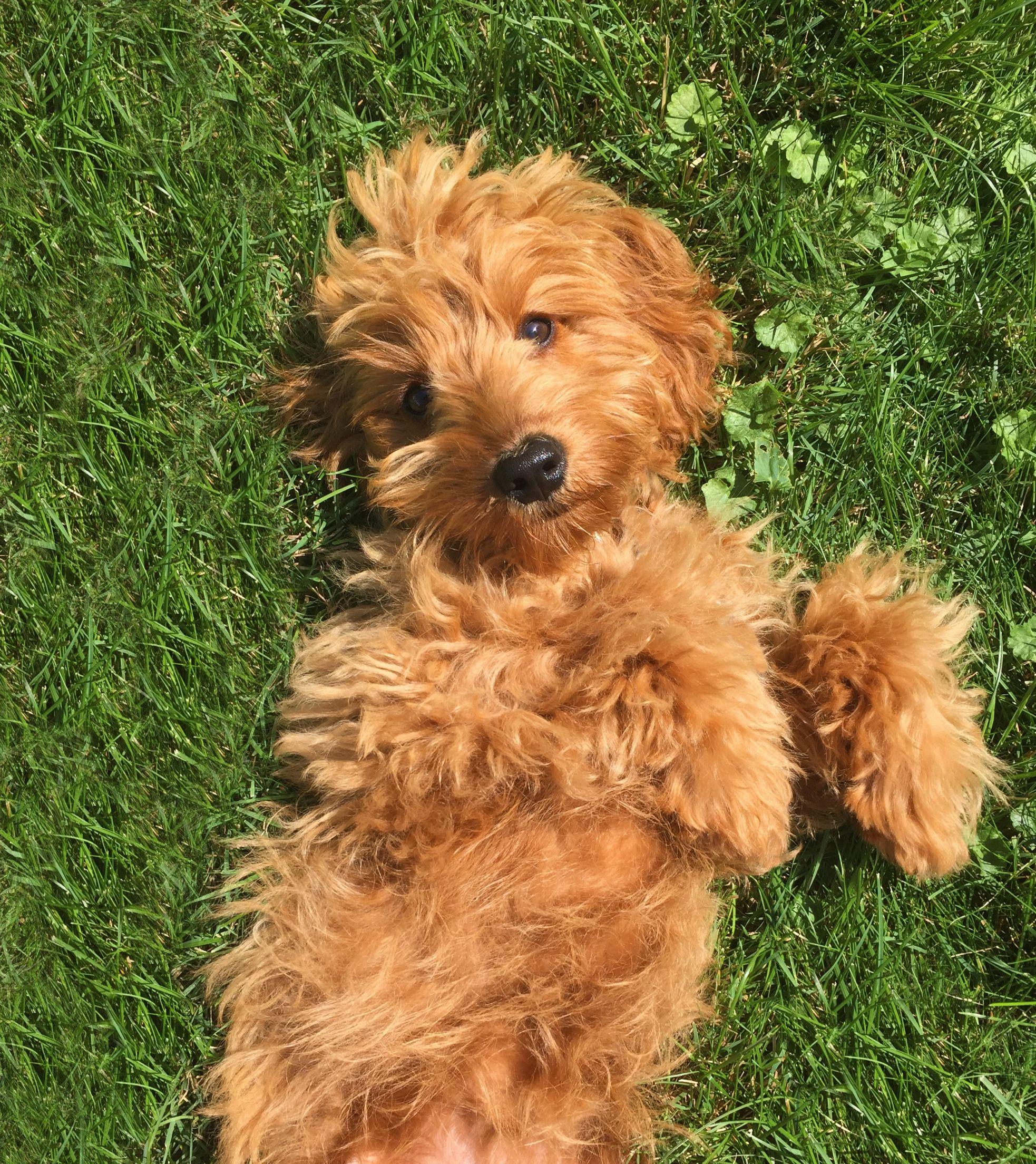 Petite Goldendoodle Puppy So Adorable Xo Poodle Mix Dogs