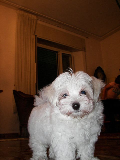 Maltese Mama S Baby Roman Cute Baby Animals Maltese Maltese Dogs